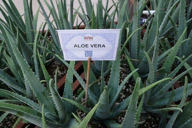 aloe-vera na chudnutie